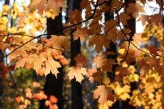 De gele tak van de dalingsboom Stock Foto's