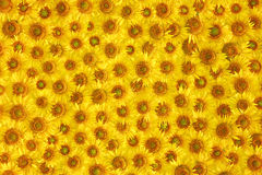 De gele textuur van de zonnebloembloei Royalty-vrije Stock Afbeelding