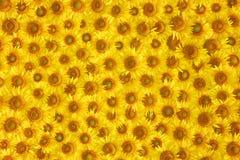 De gele textuur van de zonnebloembloei Stock Fotografie