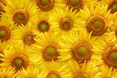 De gele textuur van de zonnebloembloei Royalty-vrije Stock Foto's