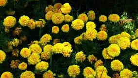 De gele tuin van de fluweelbloem stock video