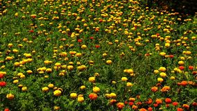 De gele tuin van de fluweelbloem stock videobeelden
