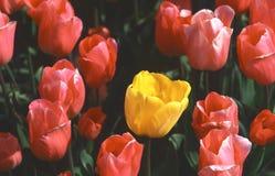 De gele tulp van Holland stock afbeelding