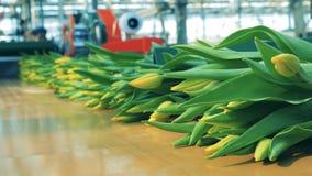 De gele tulpen bewegen zich geleidelijk aan langs de vervoerder stock video