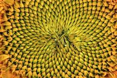 De gele van de zonnebloemtextuur zomer als achtergrond Stock Afbeeldingen