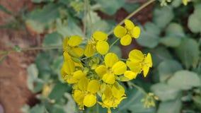 De gele verkrachtingsbloesems zijn reeds open in de vroege lente stock foto's