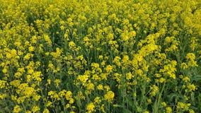 De gele verkrachtingsbloesems zijn reeds open in de vroege lente royalty-vrije stock afbeeldingen