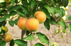 De gele verse appelen van Catherine op de tak van de appelboom Stock Afbeelding