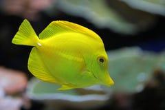 De gele vissen royalty-vrije stock afbeeldingen