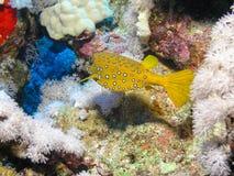 De gele vissen van de Doos van de Kubus stock afbeeldingen