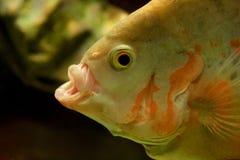 De gele vissen van het cichlidaquarium Stock Foto's
