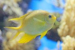 De gele vissen van Samll stock foto's
