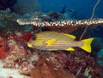 De gele Vissen van Sweetlip van het Lint onder lijstkoraal stock foto's