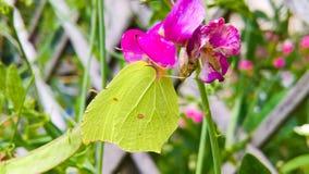 De gele vlinder Stock Afbeelding