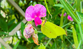 De gele vlinder Stock Afbeeldingen