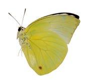 De gele vlinder van de citroenemigrant Stock Afbeelding