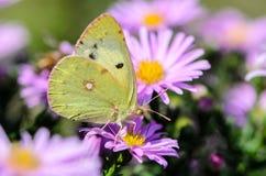 De gele vlinder verzamelt nectar op een knop van Astra Verghinas Stock Foto's