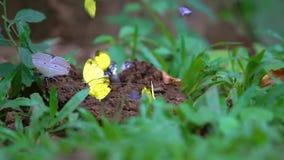 De gele vlinders eten de mineralen in het zoute moeras stock footage