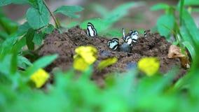 De gele vlinders eten de mineralen in het zoute moeras stock videobeelden