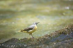 De gele vogel van de kwikstaartrivier royalty-vrije stock fotografie