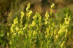 De gele vulgaris bloemen van toadflaxlinaria Royalty-vrije Stock Foto's