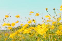 De gele weide van het bloemgebied Stock Afbeelding