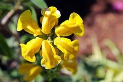 De gele Wijze bloem van Jeruzalem Stock Foto