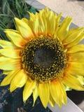 De gele zonnebloem Royalty-vrije Stock Afbeeldingen