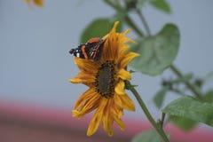 De gele zonnebloem en vlinderzomer Stock Foto