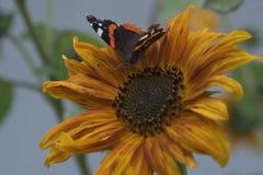 De gele zonnebloem en vlinderzomer Royalty-vrije Stock Afbeeldingen