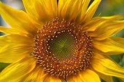 De gele zonnebloem fotografeerde dicht omhoog Stock Fotografie