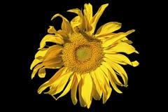 De gele zonnebloem isoleerde zwarte Royalty-vrije Stock Afbeeldingen