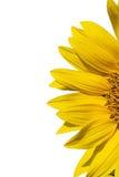 De gele zonnebloem van Outstanded Royalty-vrije Stock Foto