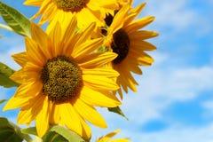 De gele zonnebloemen sluiten omhoog Stock Afbeelding