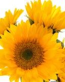 De gele Zonnebloemen sluiten omhoog op Witte Achtergrond, omhoog sluiten, Verticale Banner royalty-vrije stock foto's
