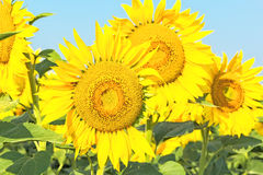 De gele zonnebloemen tegen de blauwe hemel, sluiten omhoog Royalty-vrije Stock Afbeelding