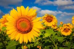 De gele zonnebloemen van Nice Royalty-vrije Stock Afbeelding