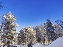 De gele zonnestraal op de sneeuw vulde pijnboomboom onder de blauwe hemel in een park openlucht royalty-vrije stock foto