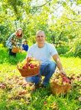 De gelukkige appelen van familieoogsten Stock Afbeeldingen
