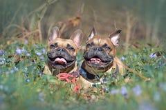 De gelukkige bruine Franse Buldoghonden die op bosgrond tussen de bloeiende lente liggen bloeit royalty-vrije stock foto's