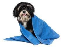 De gelukkige droge havanese puppyhond na bad is gekleed in een blauw slepen Stock Foto's