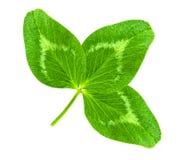 De gelukkige groene hart-vormige die bladeren van de klaverklaver op whit worden geïsoleerd Royalty-vrije Stock Afbeeldingen