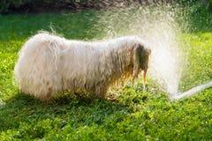 De gelukkige Havanese-hond speelt met een waterstraal Royalty-vrije Stock Afbeeldingen