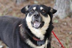 De gelukkige Herder Aussie Kelpie mengde buiten rassenhond op rode leiband met schokkraag stock foto