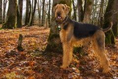 De gelukkige hond van de airedaleterriër in de herfst het plaatsen Royalty-vrije Stock Foto