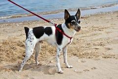 De gelukkige Hond van het Strand Stock Fotografie