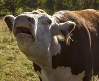 De gelukkige koe Stock Foto