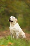 De gelukkige lichtgeele zitting van Labrador in de herfstbos Stock Afbeelding