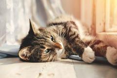 De gelukkige mooie kat ligt dichtbij het venster stock foto