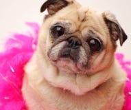 De gelukkige Pug Kleur van Fawn royalty-vrije stock afbeeldingen